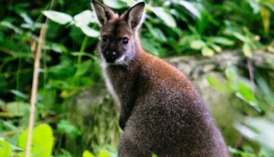 a-wallaby